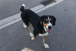 Discovery alert Dog Male , 2 years Bizanet France