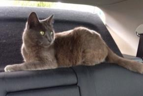 Disappearance alert Cat Male , 8 years Courbépine France