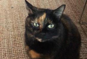 Disappearance alert Cat  Female , 8 years Bérengeville-la-Campagne France